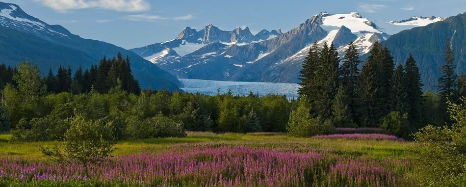 Alaska Mountain Fireweed